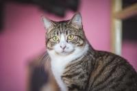 Rhea Tabby Cat