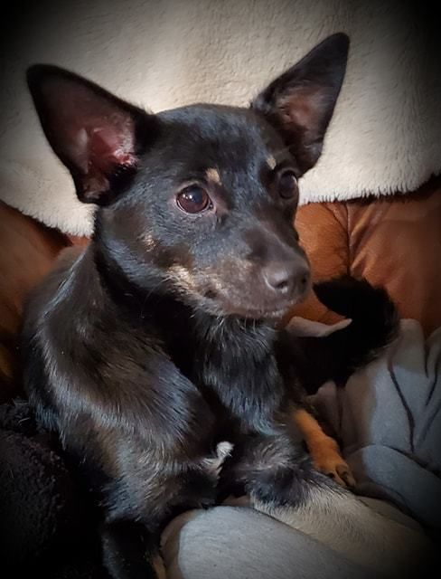 Loretta Lynn, an adoptable Chihuahua Mix in Temple, TX