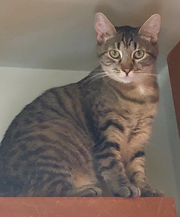 Chica, an adoptable Tabby & Domestic Short Hair Mix in Mission Viejo, CA