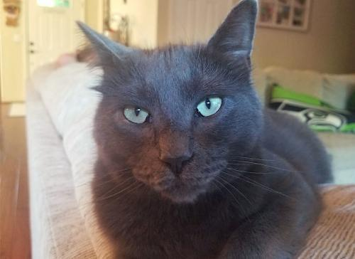 Rocket, an adoptable Domestic Short Hair & Russian Blue Mix in Springfield, OR
