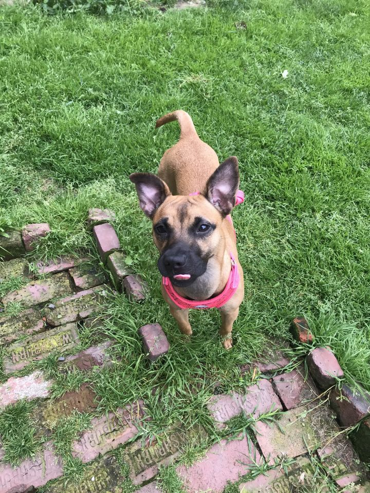 Dog for adoption - Lexi, a Black Mouth Cur & Chihuahua Mix