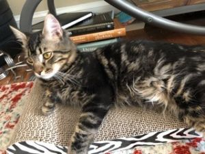 Cat for adoption - Daper-Let's Play, a Maine Coon & Domestic Medium