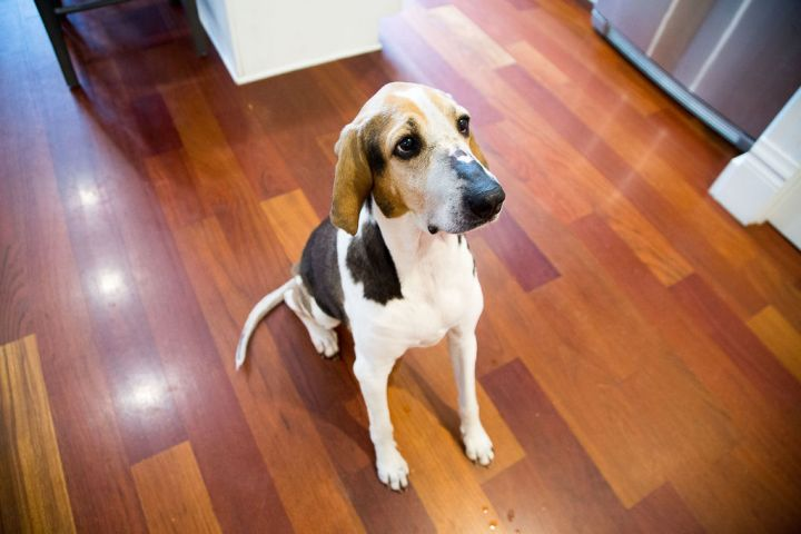 Mars Rover, an adopted Treeing Walker Coonhound in Pittsburgh, PA