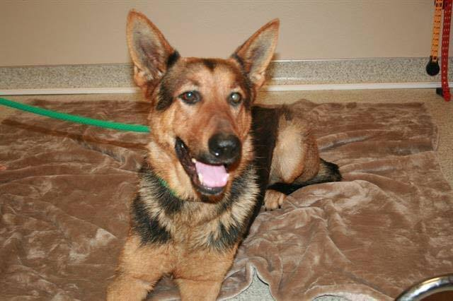 Bear, an adopted German Shepherd Dog Mix in Port Townsend, WA