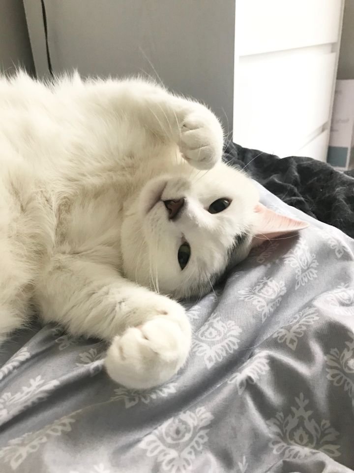 Marshmallow, an adopted Domestic Short Hair in Mount Rainier , MD
