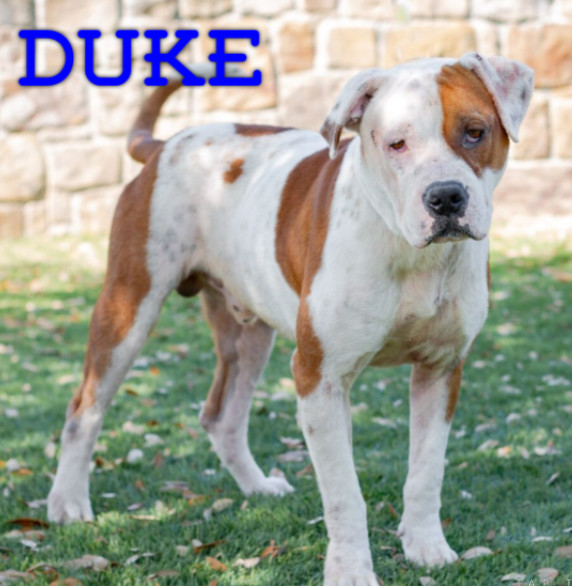 Duke, an adopted Pit Bull Terrier Mix in Eagle, ID