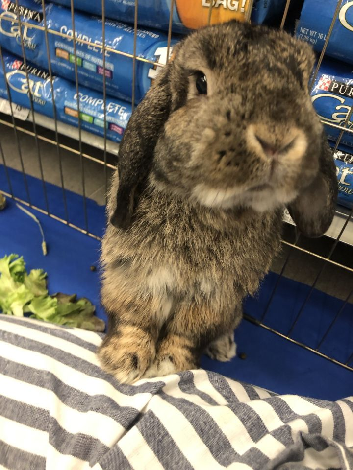 Otis, an adoptable Lop Eared in New York, NY