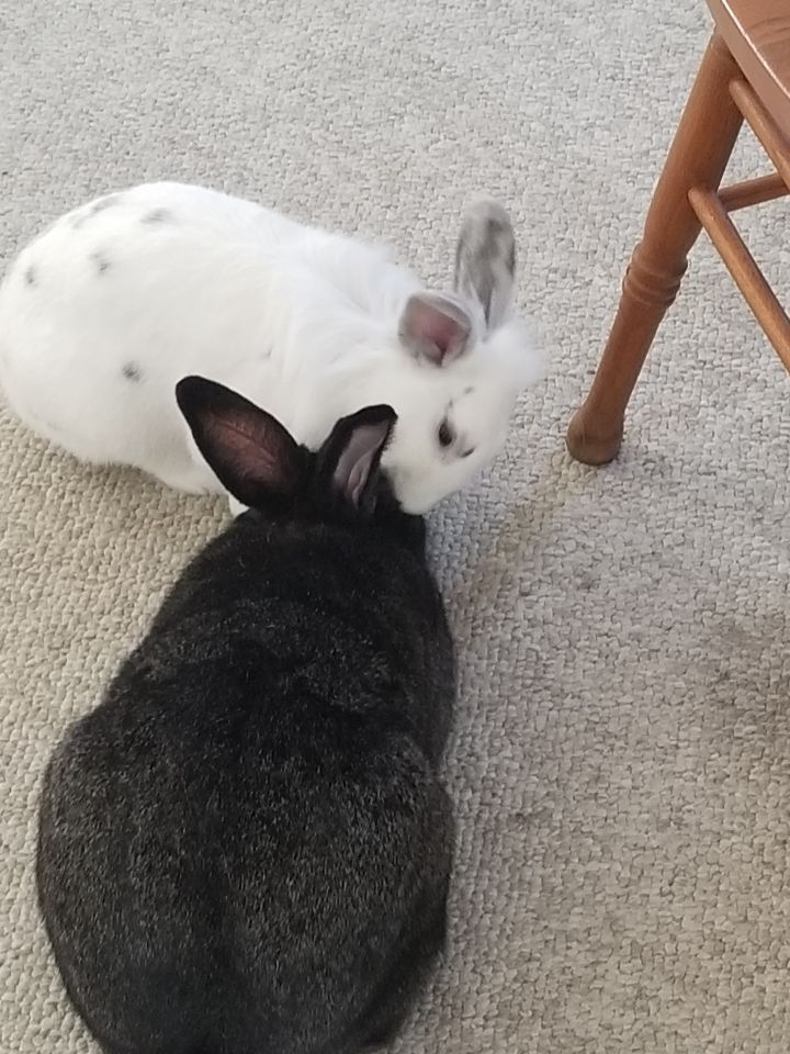 Abe and Einy, an adoptable Flemish Giant & Lionhead Mix in New York, NY