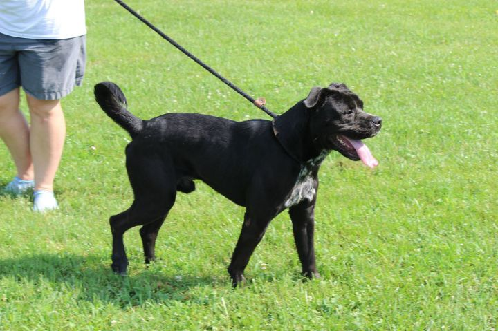 Lane, an adoptable Labrador Retriever & Australian Cattle Dog / Blue Heeler Mix in Cynthiana, KY