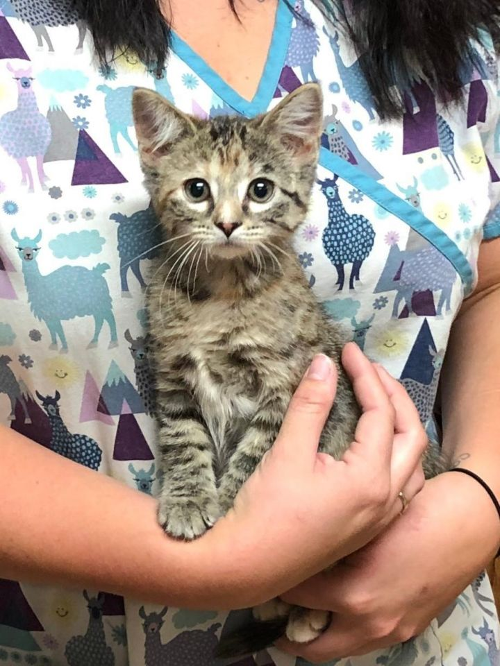 Calliope, an adopted Tortoiseshell & Tabby Mix in Dickinson, ND