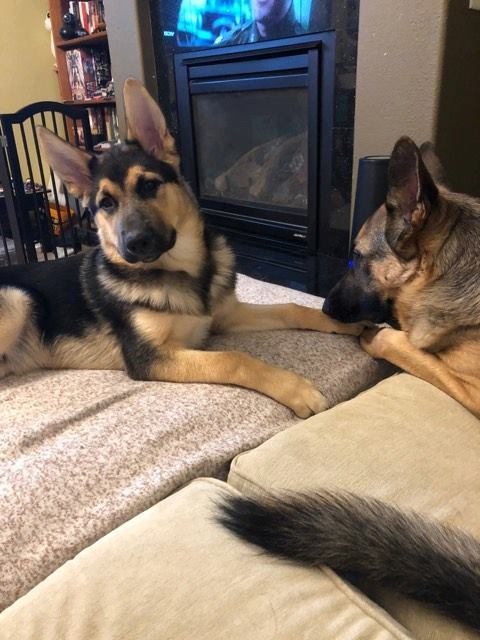 Rauno, an adoptable German Shepherd Dog Mix in Kennewick, WA