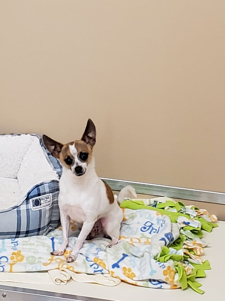 Dot, an adoptable Chihuahua in Naperville, IL