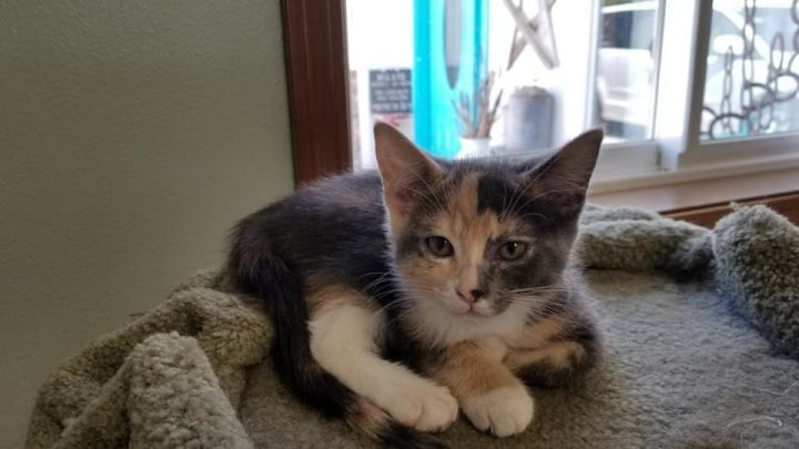 Willow, an adoptable Domestic Short Hair Mix in Kennewick, WA