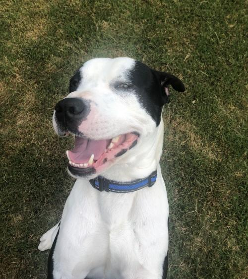 Oreos-Z, an adoptable American Bulldog Mix in Alpharetta, GA