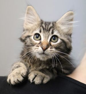 Cat for adoption - Trout, a Tabby & Domestic Long Hair Mix