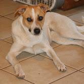Dog for adoption - Dallas, a German Shepherd Dog Mix in San