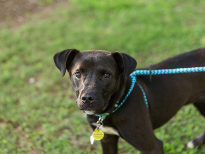 Hayley, an adopted Labrador Retriever & American Staffordshire Terrier Mix in Athens, GA