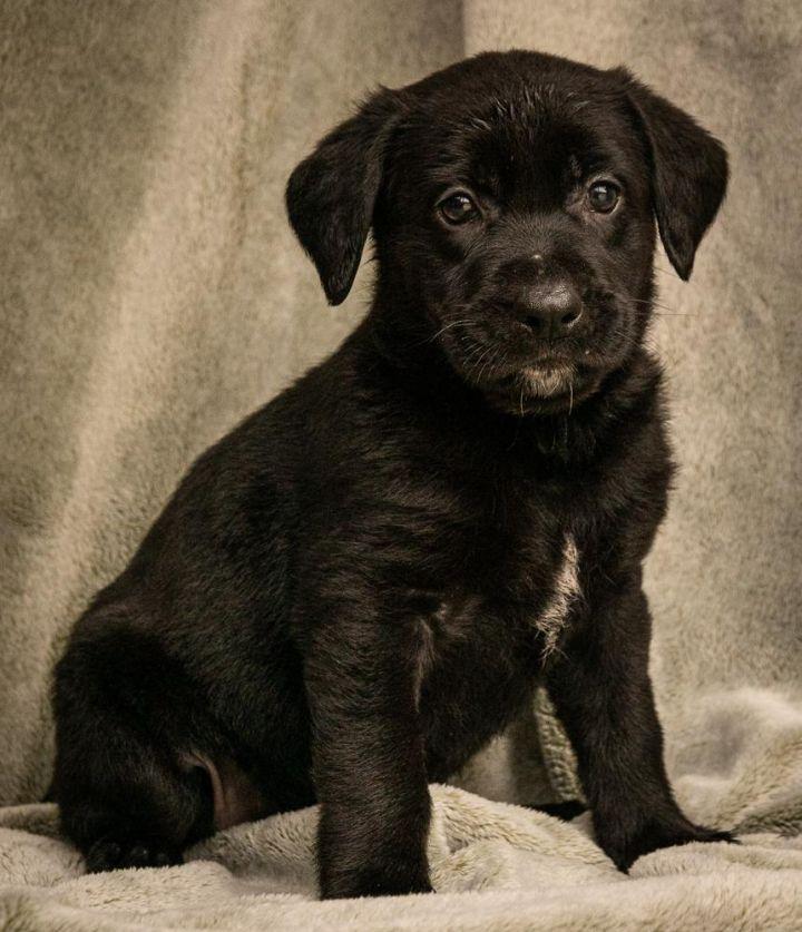 Dog for adoption - Mahri, a German Shepherd Dog & Labrador