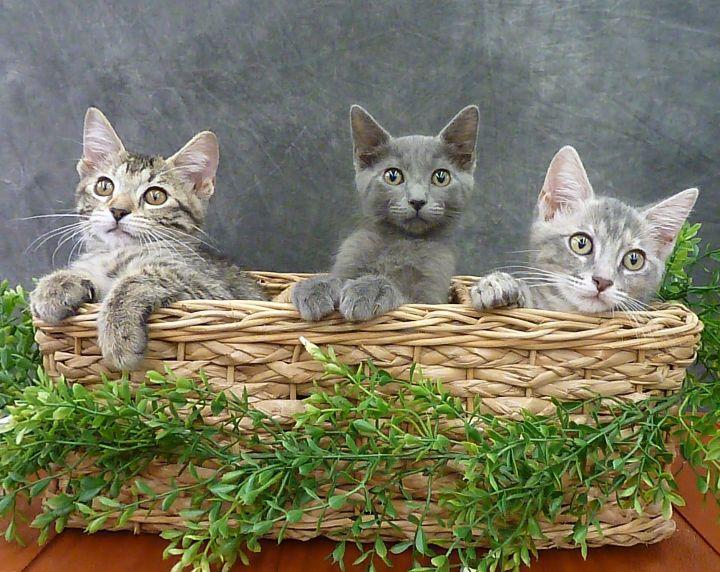 Santiago - Russian Blue mix kitten 2