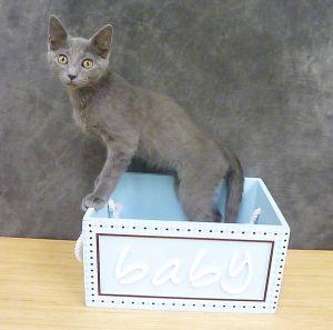 Santiago - Russian Blue mix kitten