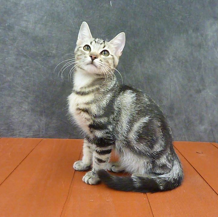 Kiwi - Marble Tabby Kitten 1
