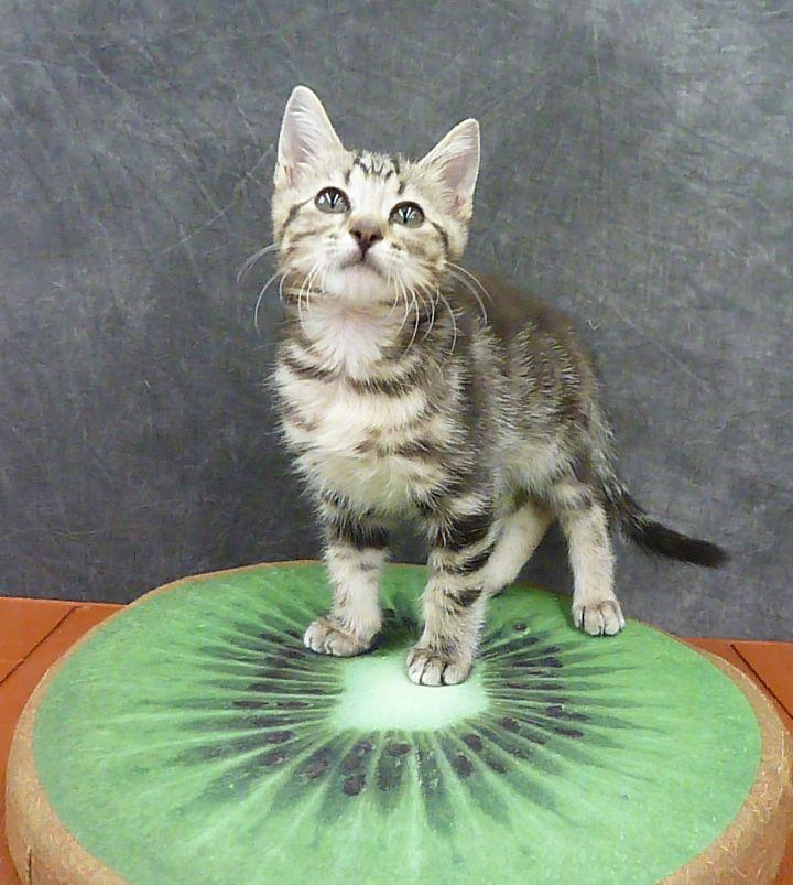 Kiwi - Marble Tabby Kitten 2