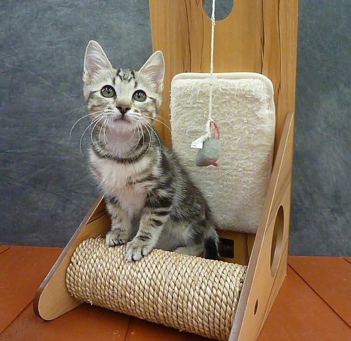 Kiwi - Marble Tabby Kitten 4