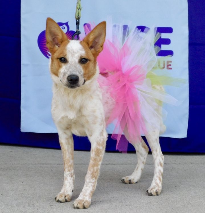 Thea, an adoptable Cattle Dog Mix in Parsippany, NJ