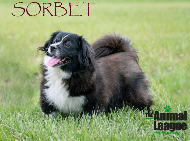 Sorbet, an adoptable Cavalier King Charles Spaniel Mix in Clermont, FL