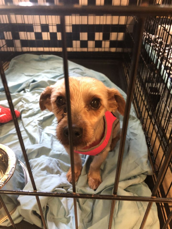 Ely, an adopted Yorkshire Terrier Mix in Boca Raton, FL