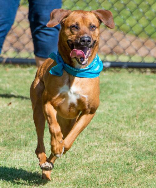 KennyRogers, an adoptable Hound & Retriever Mix in Alpharetta, GA