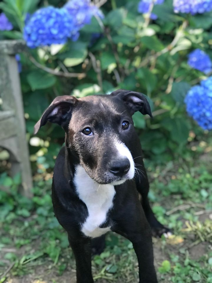 Duck, an adoptable Terrier Mix in Ewing, NJ