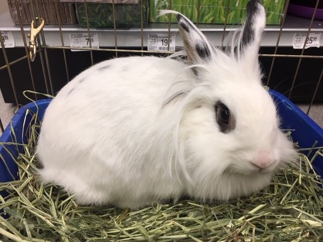 Coco Bean, an adopted Lionhead in New York, NY