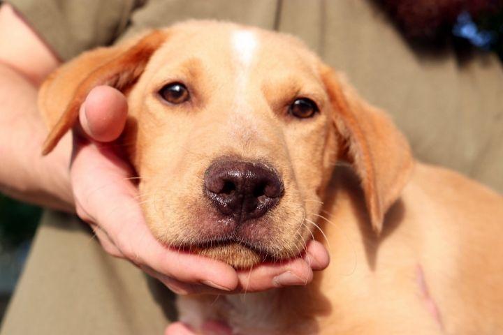 Dog for adoption - Aquarius JuM, a Labrador Retriever & Shar