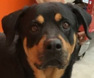 Kelli is a three to five year-old Rottweiler rescued from Puerto Rico She would
