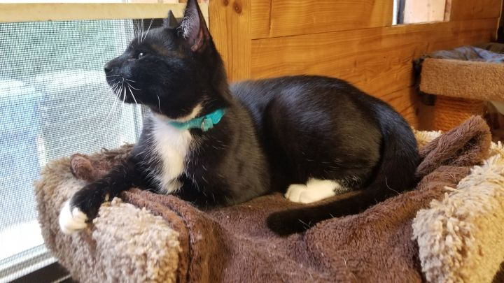 Nocturne, an adoptable Tuxedo & Domestic Short Hair Mix in Waxhaw, NC