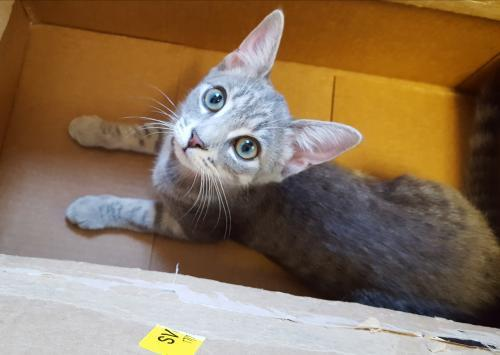 Symphony, an adoptable Tabby & Domestic Short Hair Mix in Waxhaw, NC