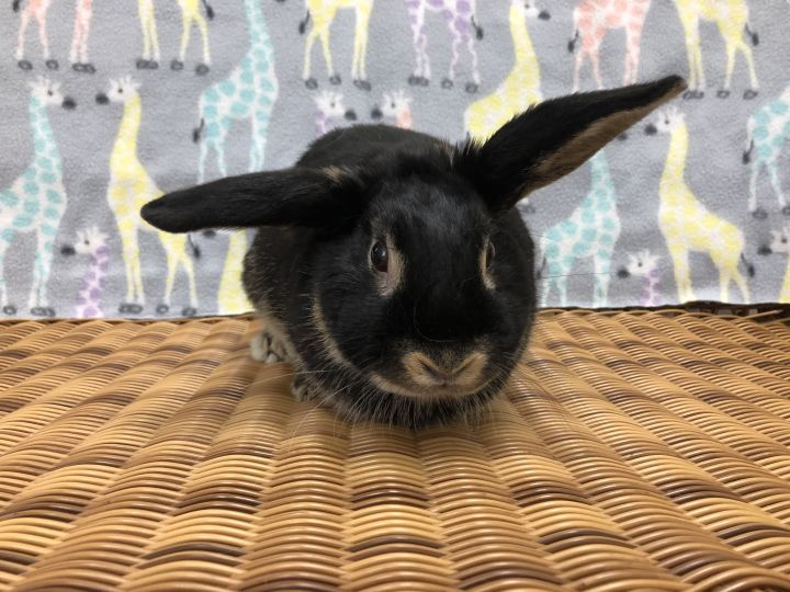 Keno, an adoptable Lop Eared in Appleton, WI