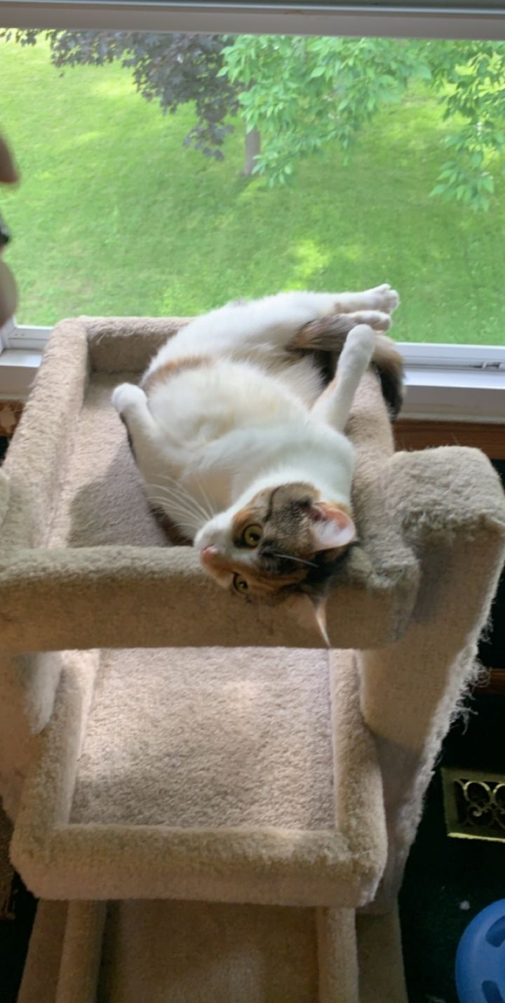 Cat for adoption - Callie, a Calico in Syracuse, NY | Petfinder