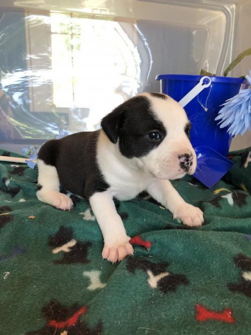 Dog For Adoption Naan A Pit Bull Terrier Border Collie Mix In