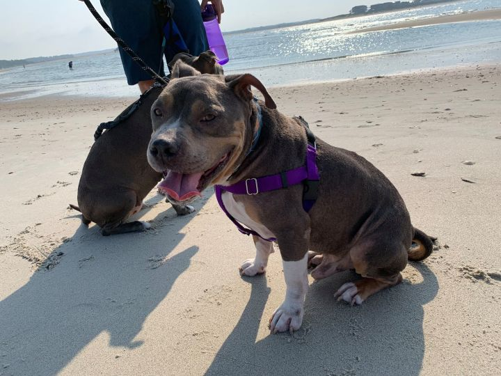 Henry, an adoptable Pit Bull Terrier in Durham, NC