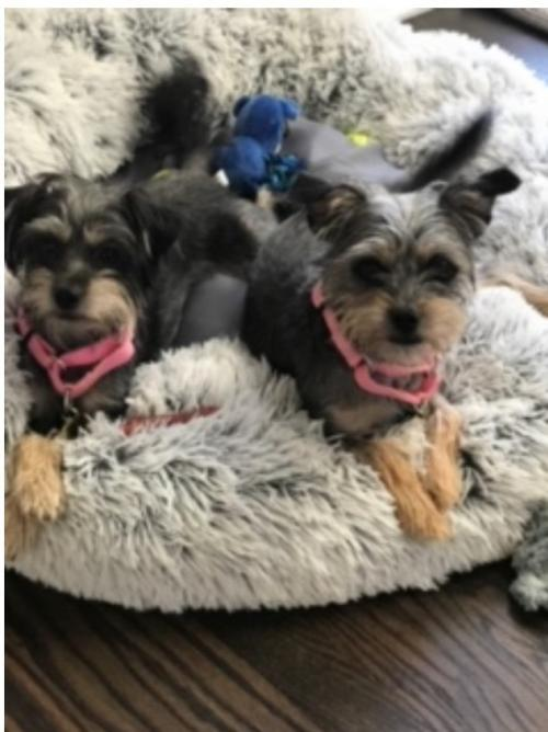 Yorkshire Terrier For Sale In Atlanta Ga Billedgalleri
