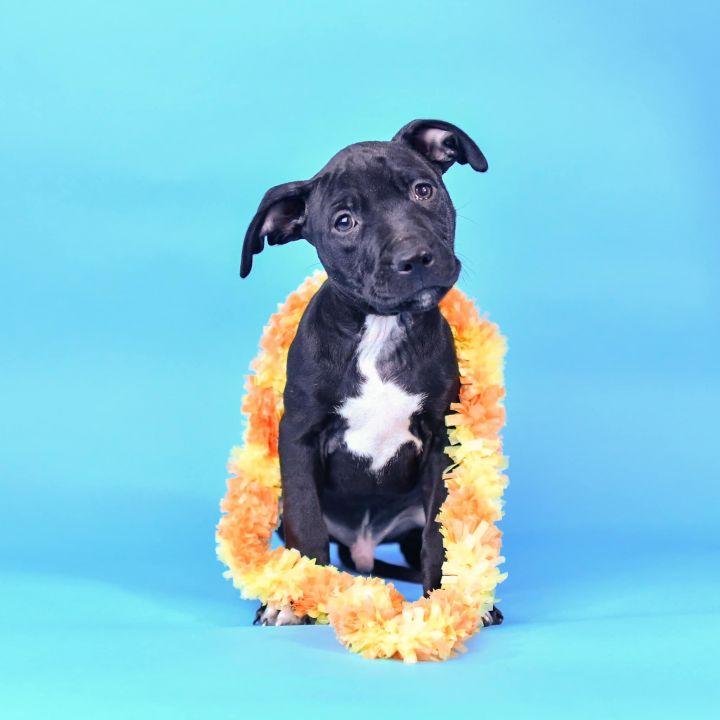 Dog for adoption - Shrimp, a Pit Bull Terrier in Des Peres