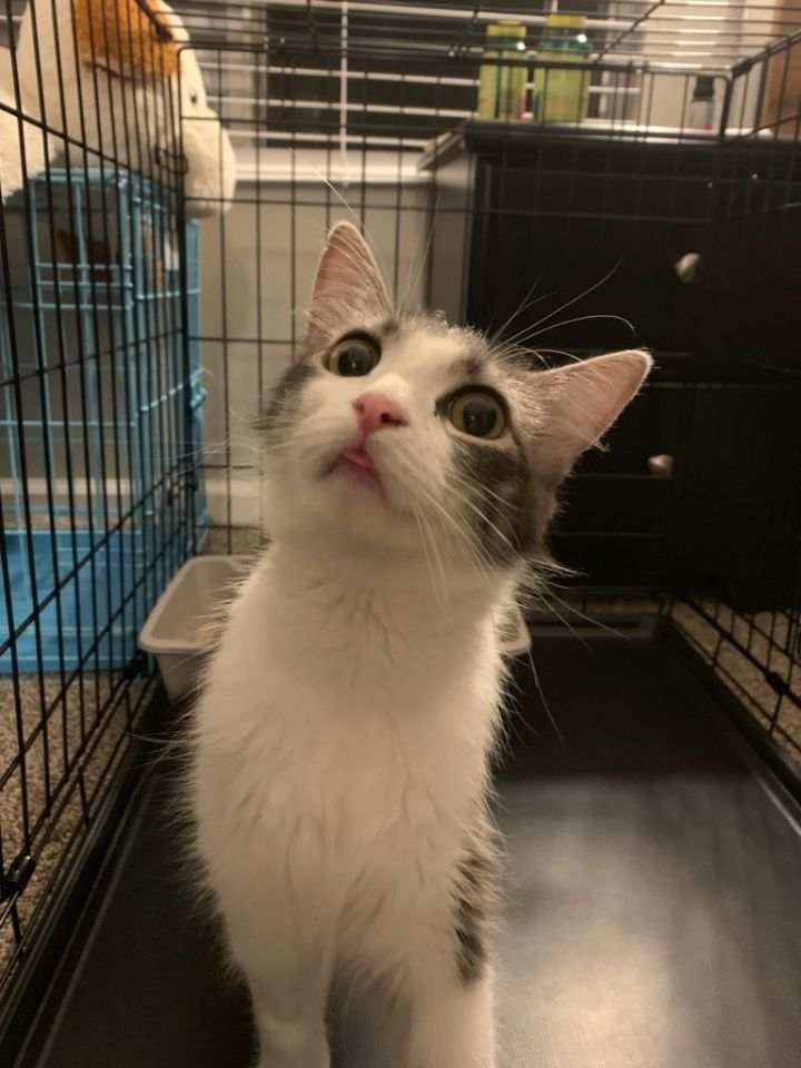 Delilah, an adoptable Maine Coon & Domestic Medium Hair Mix in Mission Viejo, CA