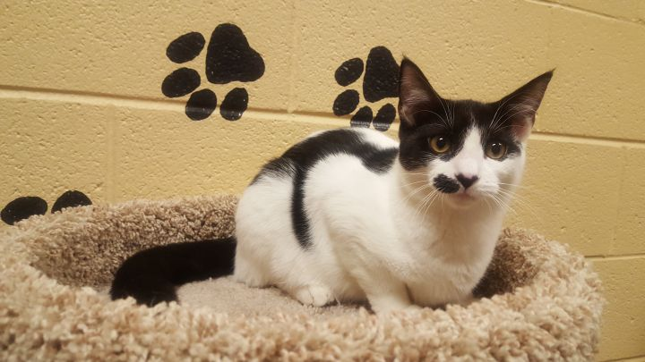 Alice, an adoptable Domestic Short Hair in Smithfield, NC
