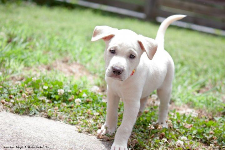Boo Boo Bear, an adopted Hound & Pit Bull Terrier Mix in Durham, NC