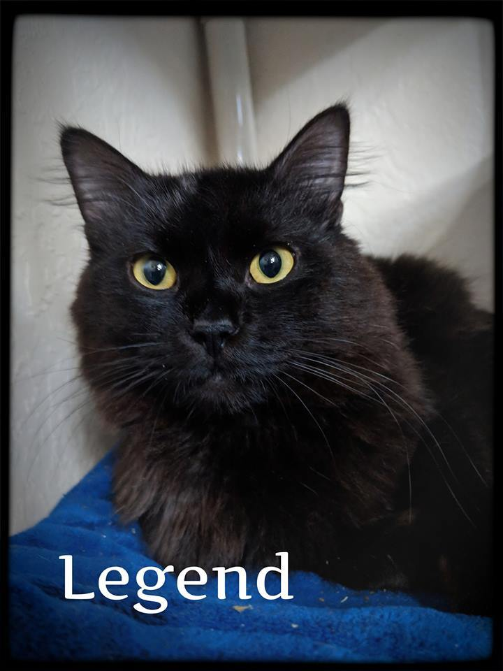 Legand, an adopted Domestic Long Hair Mix in Prineville, OR