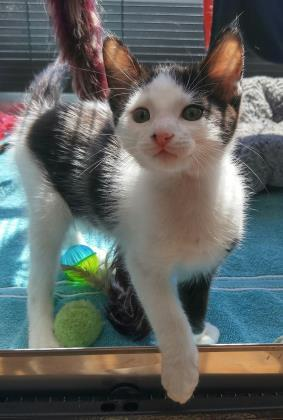 Cat for adoption - Martin, a Domestic Short Hair in West