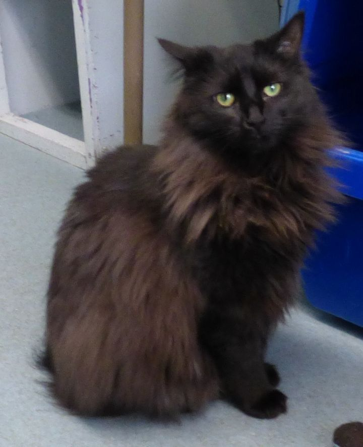 Dana, an adoptable Domestic Long Hair Mix in Louisville, KY