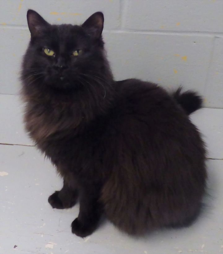 Dafni, an adoptable Domestic Long Hair Mix in Louisville, KY